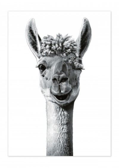 Animal Lama Poster